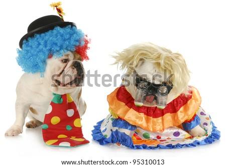 dog clowns - male and female english bulldog clowns on white background - stock photo