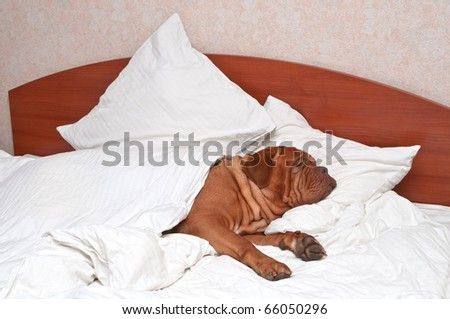 Dog Comfortably Sleeping in bed with white sheets - stock photo