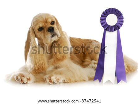 dog competition - american cocker spaniel laying beside purple and white rosette ribbon - stock photo