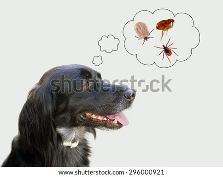 Dog considering disease risk from ticks, fleas. NB my dog!  - stock photo