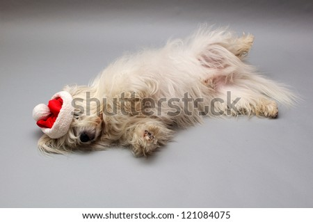 Dog (Coton de Tulear) with a Santa hat.