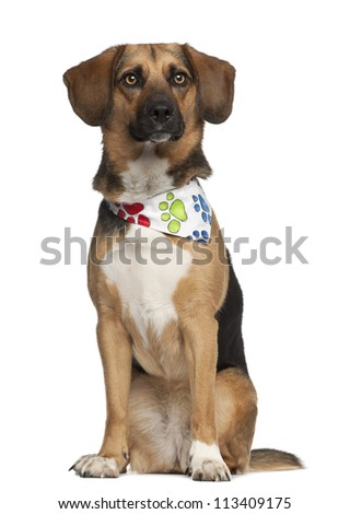 Dog, cross breed with a beagle, 2 years old, sitting wearing neckerchief against white background