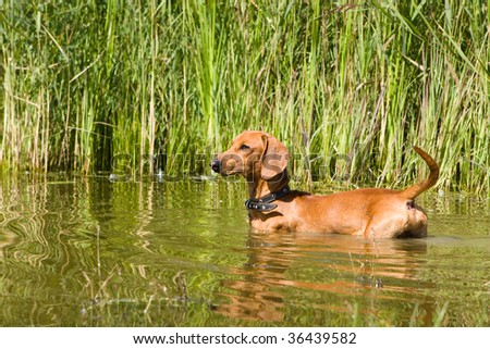 Dog  dachshund hunts in the water - stock photo