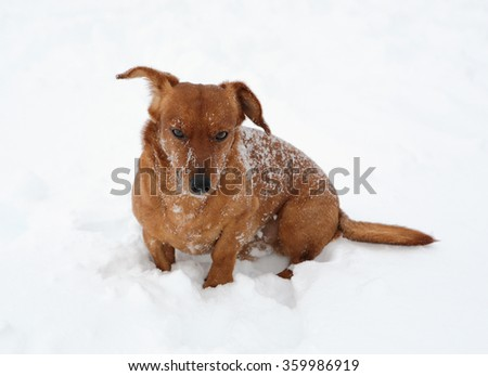 Dog dachshund in the deep snow