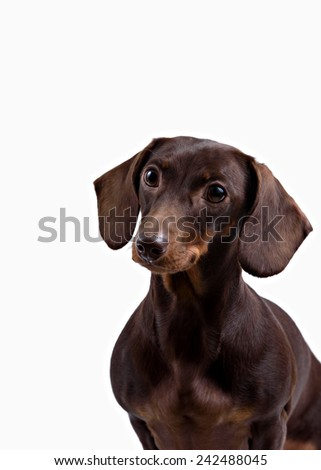 dog Dachshund on white background - stock photo