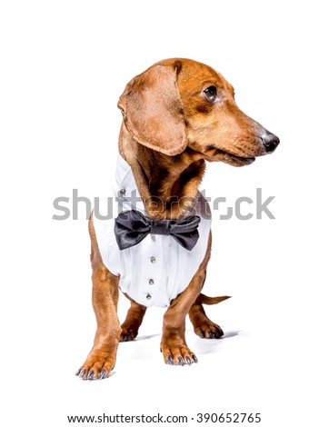 Dog, dachshund, wearing shirtfront and bow tie, isolated on white background.
