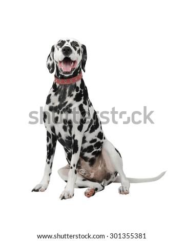 Dog Dalmatian sitting and laughing - stock photo