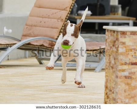 Dog dancing around the pool with a ball - stock photo