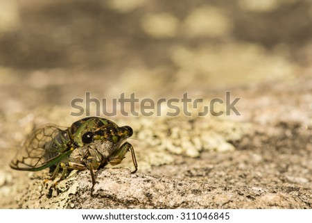 Dog-day Cicada (Neotibicen davisi davisi)