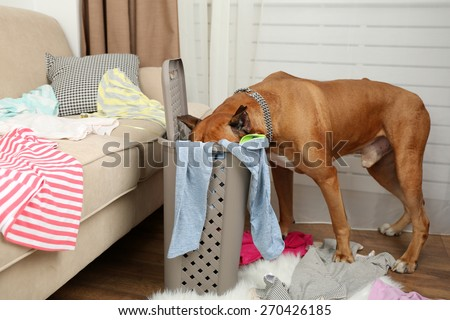 Dog demolishes clothes in messy room - stock photo