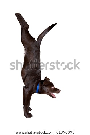 dog doing Adho Mukha Vrikshasana handstand pose isolated at white background - stock photo