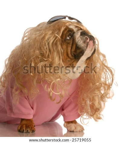 dog dressed in drag - english bulldog dressed up as a beautiful blonde woman - stock photo