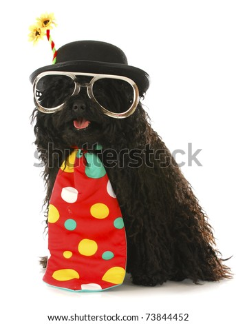 dog dressed like a clown - corded puli wearing clown costume on white background - stock photo