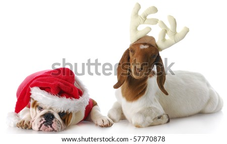 dog dressed up as santa and goat dressed up as reindeer with reflection on white background - stock photo