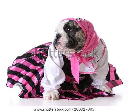 dog dressed up like a pirate on white background - bulldog female - stock photo