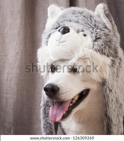 dog dressed up like cat - stock photo