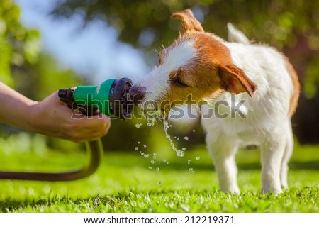Dog drinking from a garden hose, Jack Russell Terrier - stock photo