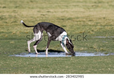 Dog drinking from a puddle of water at the park - stock photo