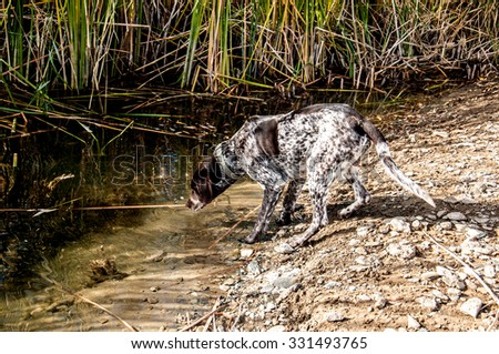 Dog drinking from the river