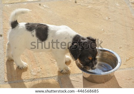 Dog drinking water from a bowl - Jack Russell Terrier