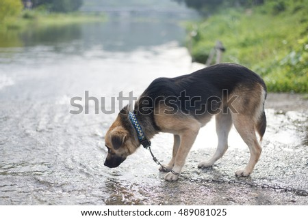 Dog drinks water from the forest