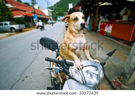 Dog driver. The dog sits on a moped, protects a scooter and expects the mistress. Phuket island. Thailand - stock photo