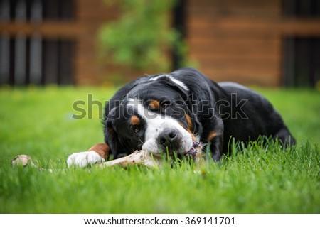 dog eating a bone outdoors - stock photo