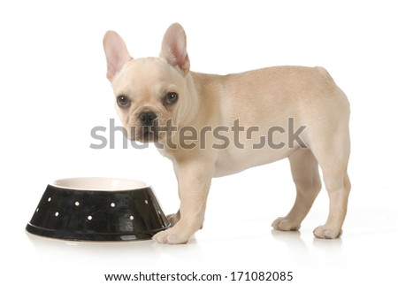 dog eating - french bulldog puppy eating out of a bowl isolated on white background - stock photo
