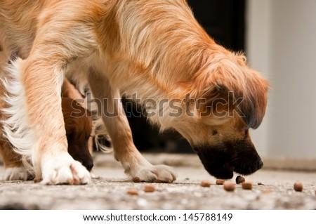dog eating the dry dog food - stock photo