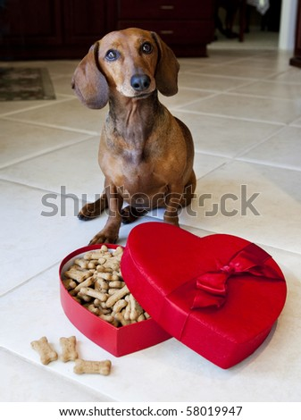 Dog eating treats from heart shaped box - stock photo