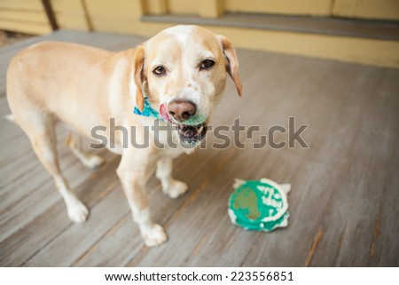 Dog eats birthday cake - stock photo