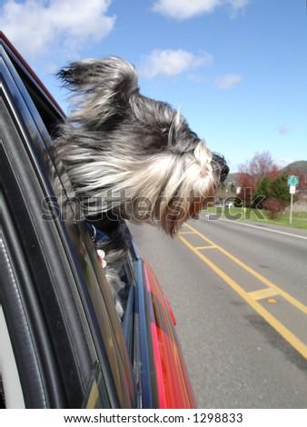 Dog enjoying a car ride - stock photo