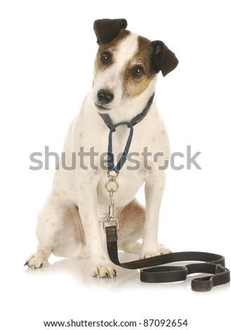 dog exercise - jack russel terrier waiting to go for a walk - stock photo