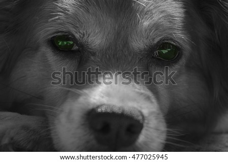 dog face with green eyes