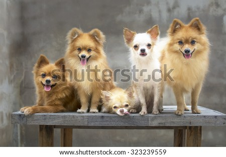 dog family,there are three brown Pomeranian dogs ,mother sister brother.Two friends Chihuahua. - stock photo