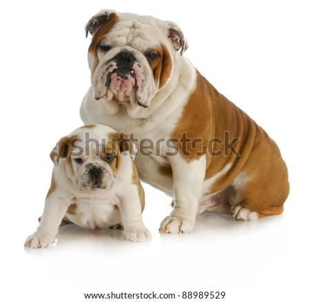 dog father and son - english bulldog father and son sitting looking at viewer on white background