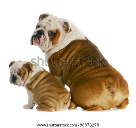dog father and son - english bulldog father and son sitting with back to viewer on white background - stock photo