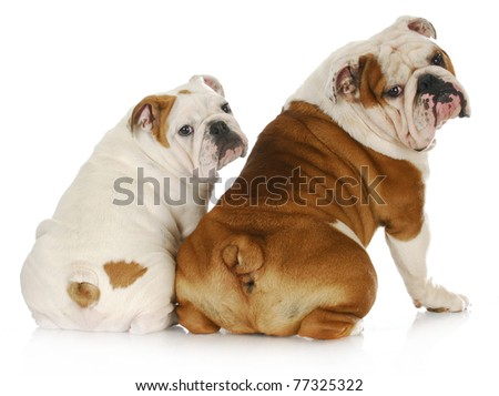 dog father and son - two english bulldogs looking at viewer over shoulder - stock photo