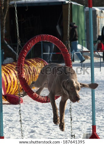 Dog flies through the ring on the snow background - stock photo