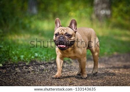 Dog French Bulldog - stock photo