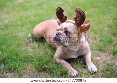Dog French bulldog wearing a headband antlers before Christmas .