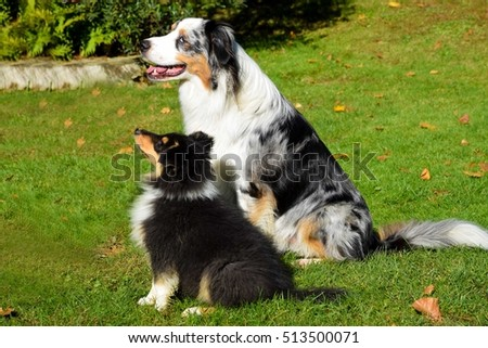 dog friends australian sheperd and collie puppy