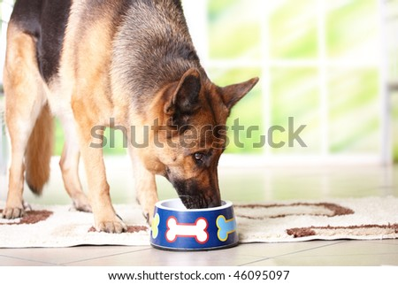 Dog German shepherd eating or drinking from bowl - stock photo