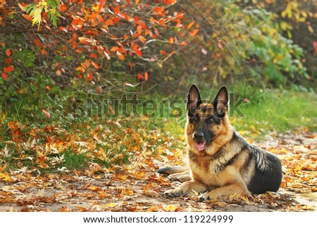 Dog, German shepherd in the autumn wood against beautiful yellow and red foliage, leaves - stock photo