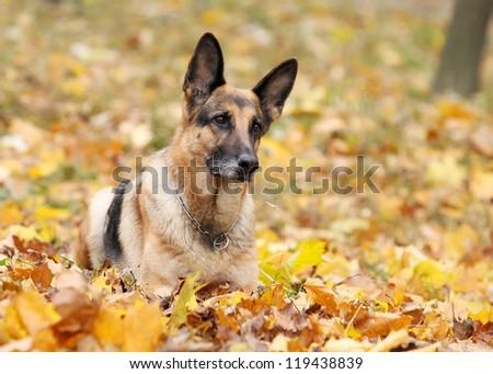 Dog, German shepherd in the autumn wood against beautiful yellow foliage - stock photo