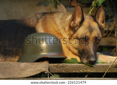Dog, German shepherd lies near soldier's helmet - stock photo