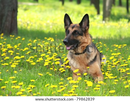 dog, German shepherd lies on a green young grass among Flowers of yellow color