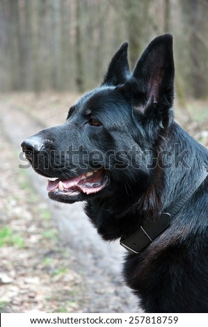 dog, german shepherd on the nature portrait