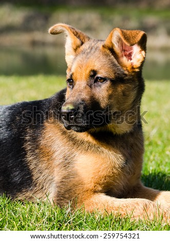 dog german shepherd puppy lying in the sun - stock photo