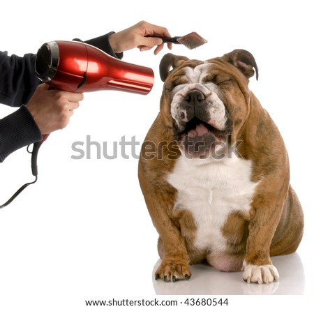 dog getting groomed - english bulldog laughing while being brushed - stock photo